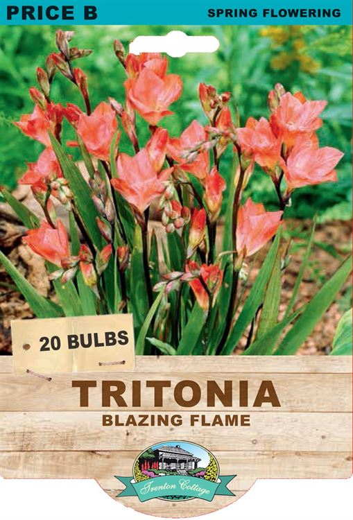 Picture of TRITONIA - BLAZING FLAME