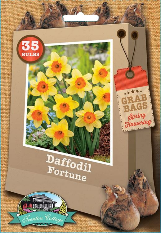 Picture of DAFFODIL - FORTUNE