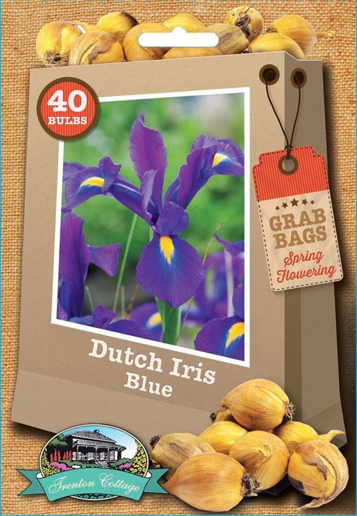 Picture of DUTCH IRIS - BLUE