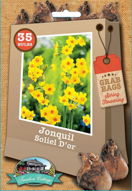 Picture of JONQUIL - SOLIEL D'OR
