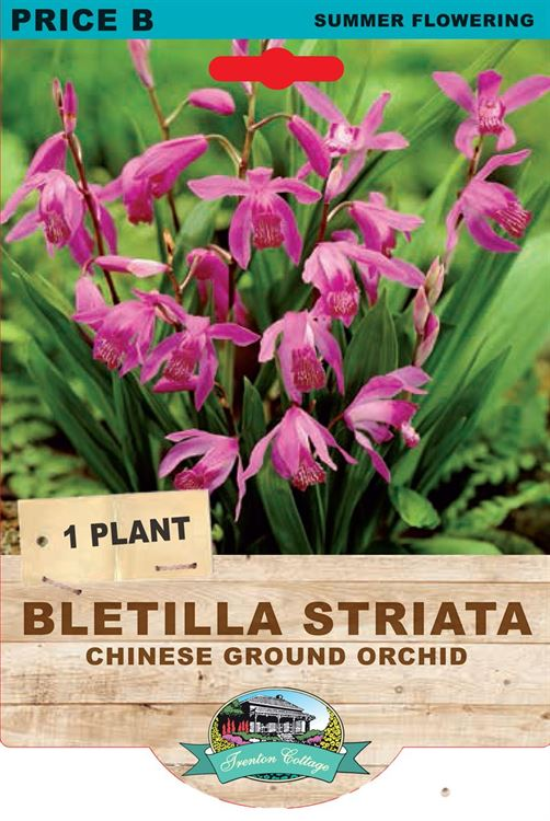 Picture of BLETILLA STRIATA - CHINESE GROUND ORCHID