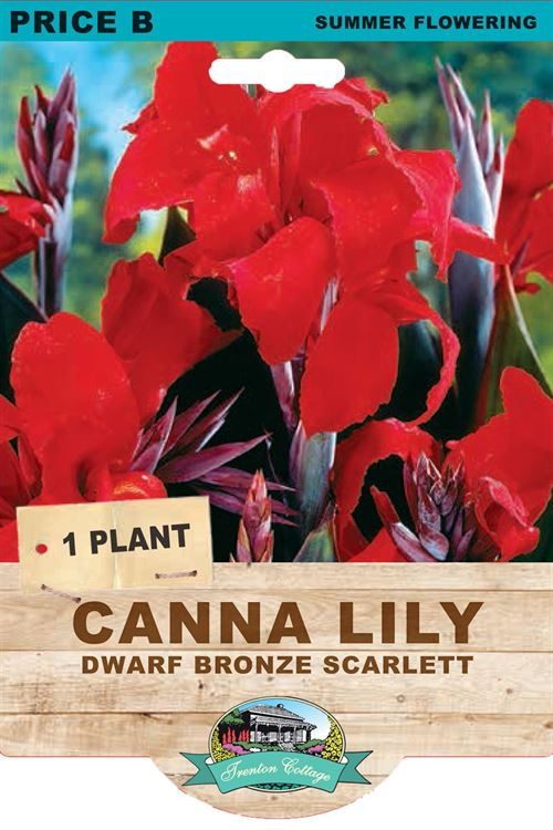 Picture of CANNA LILY - DWARF BRONZE SCARLETT