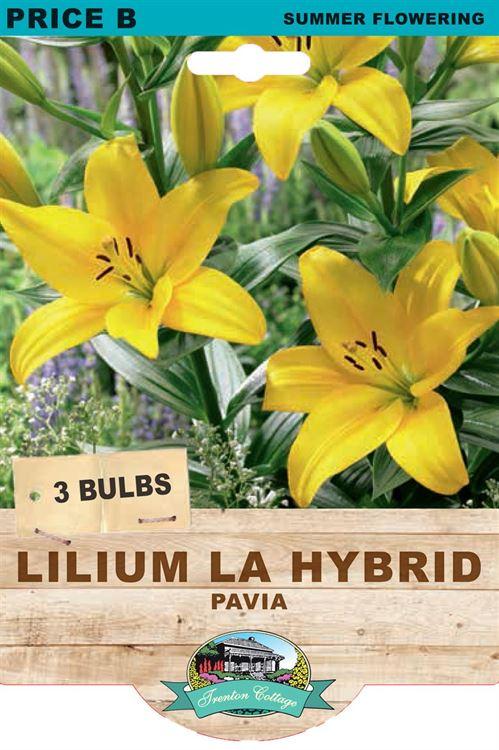 Picture of LILIUM LA HYBRID - PAVIA