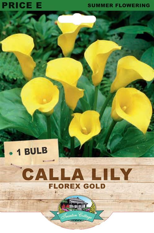 Picture of CALLA LILY - FLOREX GOLD
