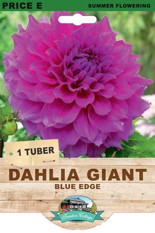 Picture of DAHLIA GIANT - BLUE EDGE
