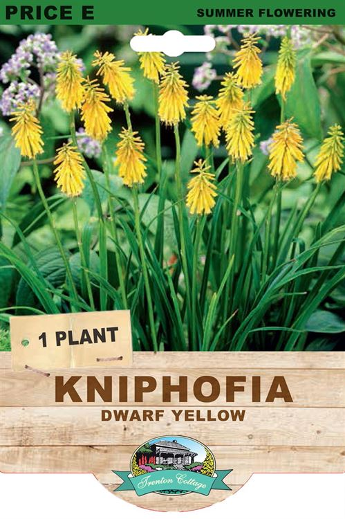 Picture of KNIPHOFIA - DWARF YELLOW