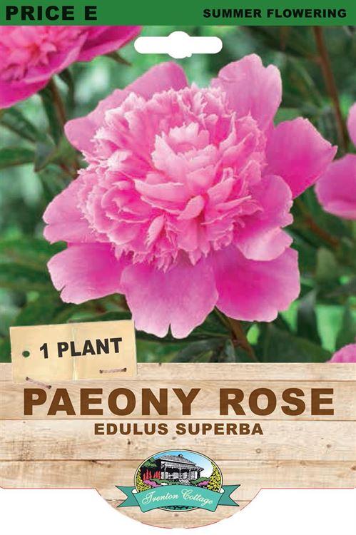 Picture of PAEONY ROSE - EDULUS SUPERBA