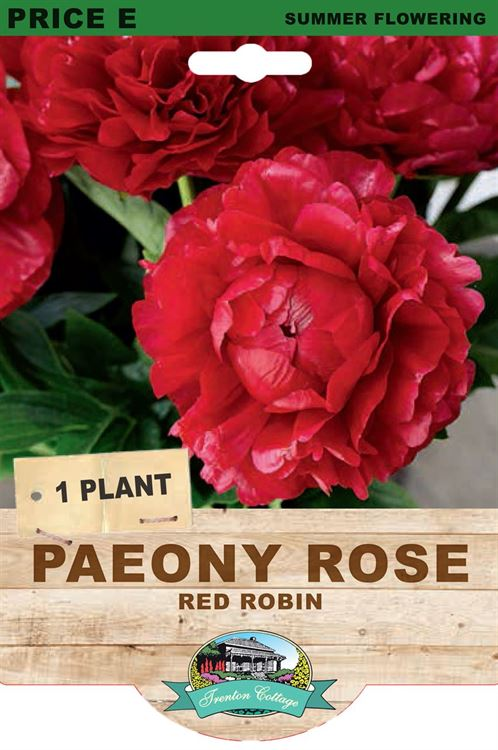 Picture of PAEONY ROSE - RED ROBIN