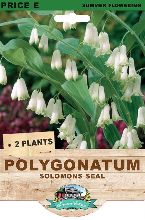 Picture of POLYGONATUM - SOLOMONS SEAL