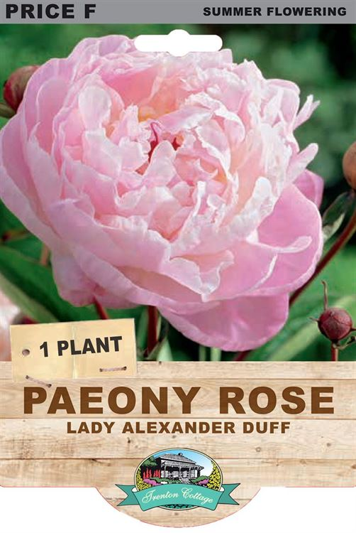 Picture of PAEONY ROSE - LADY ALEXANDER DUFF