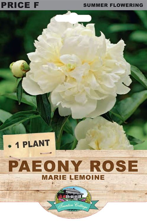 Picture of PAEONY ROSE - MARIE LEMOINE