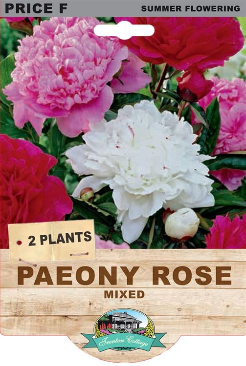 Picture of PAEONY ROSE - MIXED