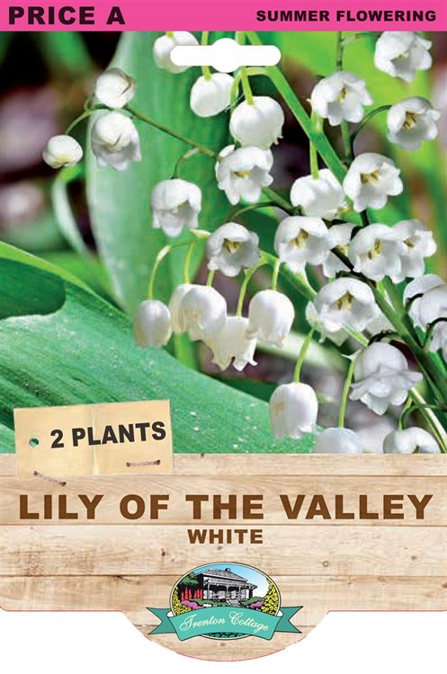 Picture of LILY OF THE VALLEY - WHITE