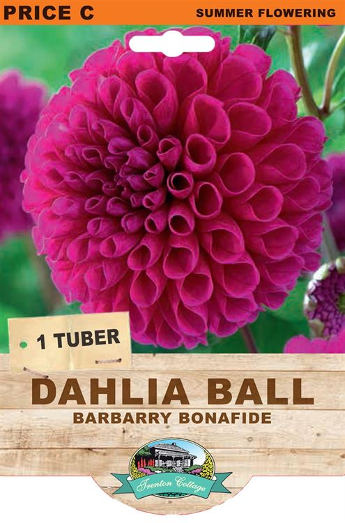 Picture of DAHLIA BALL - BARBARRY BONAFIDE