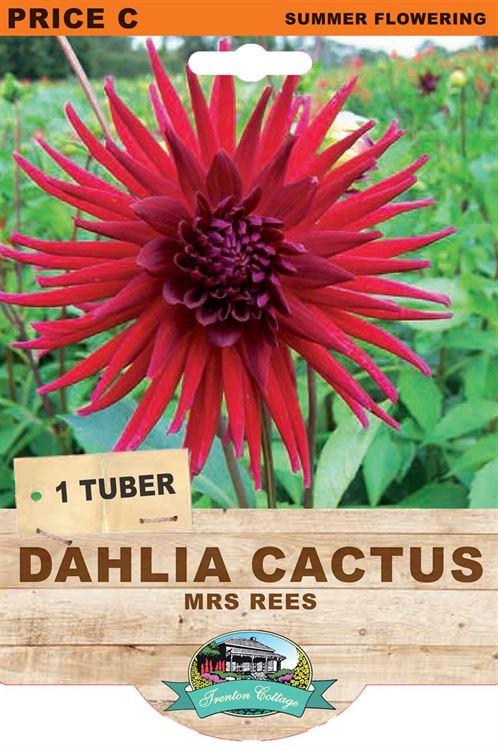 Picture of DAHLIA CACTUS - MRS REES