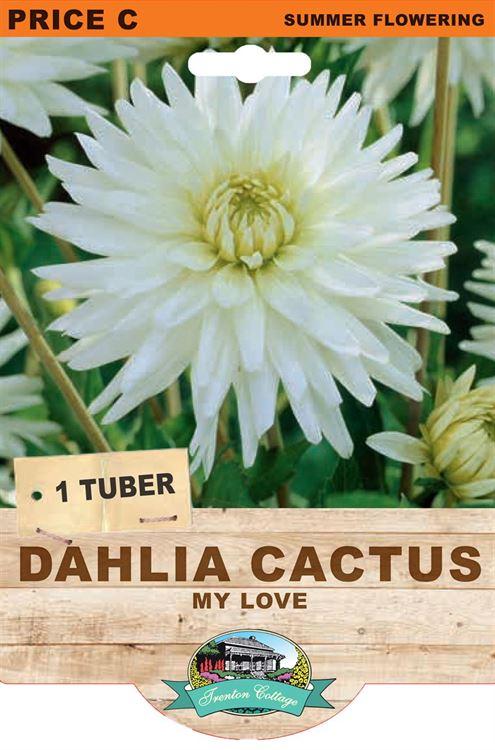 Picture of DAHLIA CACTUS - MY LOVE