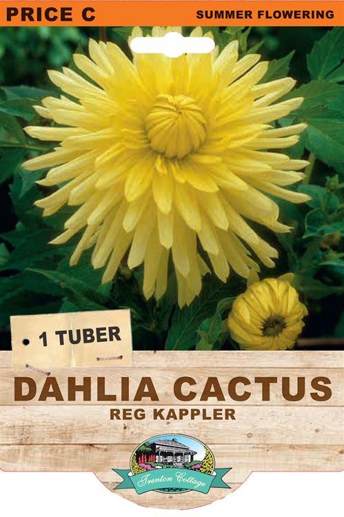 Picture of DAHLIA CACTUS - REG KAPPLER