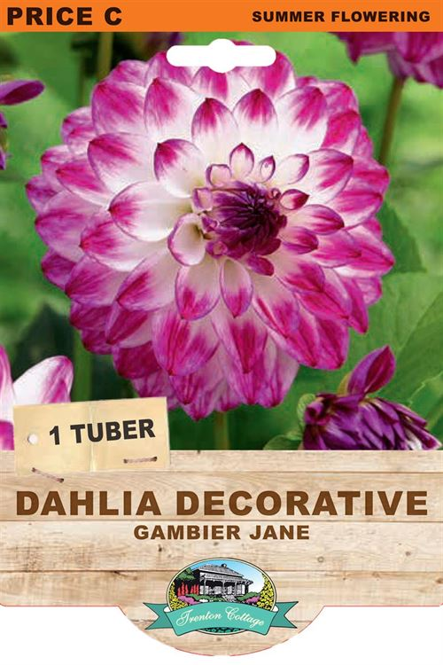 Picture of DAHLIA DECORATIVE - GAMBIER JANE
