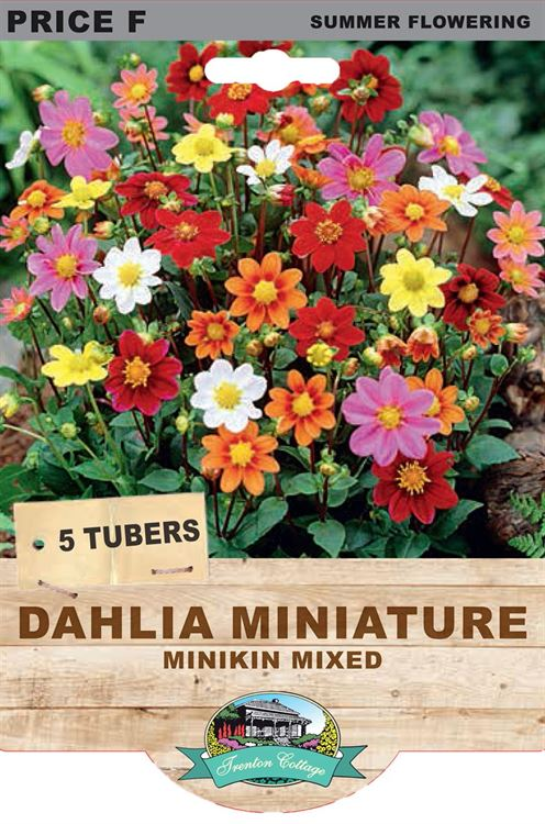 Picture of DAHLIA MINIATURE - DIABLO MIXED